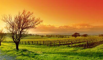 barossa-vineyard