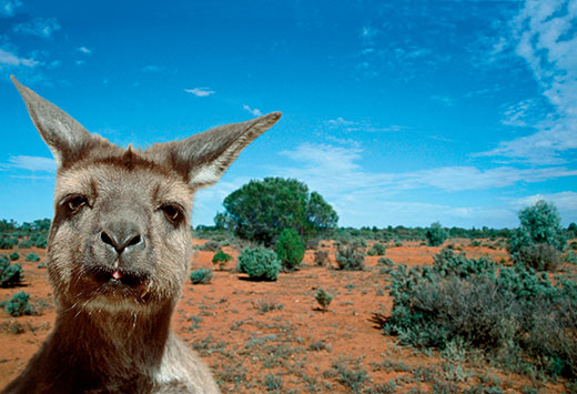 land of kangaroo australia