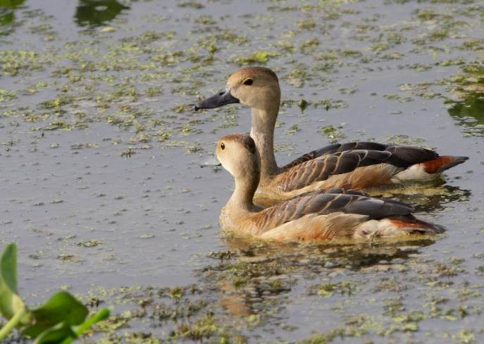 Whistling Teal
